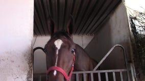 Den fullblods- tävlings- hästen drar tillbaka in i stall arkivfilmer