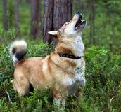 den funna hunden har laikaprotein Arkivfoton