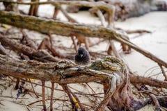 Den Galapagos Finch Geospiza fortismannen sätta sig på en filial i Santa Cruz, Galapagos öar fotografering för bildbyråer