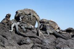 Den Galapagos Marine Iguanas Amblyrhynchus cristatusen på lava vaggar, Galapagos öar arkivfoton
