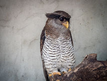 Den gallerförsedda Eagle-ugglan (Bubosumatranusen) Royaltyfri Bild