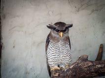 Den gallerförsedda Eagle-ugglan (Bubosumatranusen) Fotografering för Bildbyråer