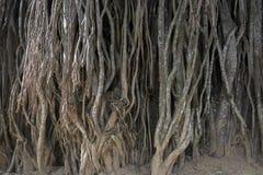 Den gamla åldern rotar av banyanträd rymmer jorden royaltyfria foton
