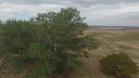 Den gamla asp- trädstammen, rotar och förgrena sig lager videofilmer