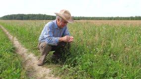 Den gamla bonden In en cowboy Hat, åkerbrukt fält, kontrollerar mognad av kornskörden stock video