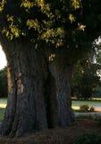 Den gamla eken på Oak Brook Arkivfoton