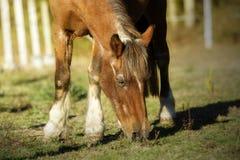 Den gamla hästen som fridfullt betar i, betar royaltyfria foton
