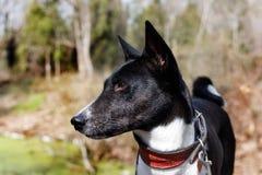 Den gamla hundbasenjien med en grå färg tystar ned stor st?ende royaltyfria foton