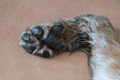 Den gamla hunden tafsar att ligga på golvet Arkivbild