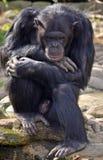 Den gamla manliga schimpansen i fundersamt poserar Arkivfoton
