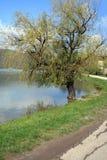 Den gamla pilen på kusten av dammet till Abrau-Durso Arkivfoto