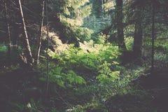 Den gamla skogen med mossa täckte träd och strålar av solen Fotografering för Bildbyråer
