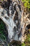 Den gamla skrapade stubben ligger på ett grönt gräs, det torra hindret av ett gammalt sågat trä, abstrakt bakgrund Arkivfoto
