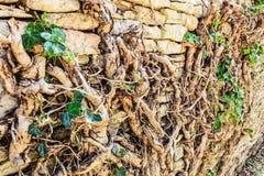 Den gamla stenväggen med rotar trädet Fotografering för Bildbyråer