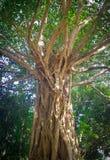 Den gamla stora trädstammen arkivbild