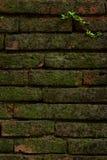 Den gamla tegelstenväggen med växtbakgrund Arkivfoto