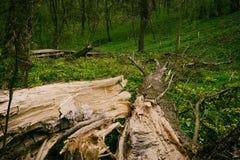 Den gamla trädstammen, efter orkanen har varit bruten och kluven Royaltyfri Fotografi