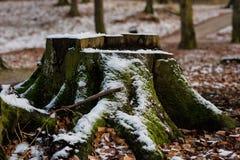 Den gamla trädstammen i en stad parkerar Gammalt träd i en vinteratmosfär royaltyfria foton