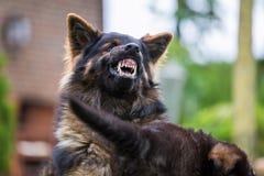 Den gamla tyska herden visar agression Royaltyfri Fotografi
