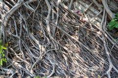 Den gamla väggen med det växande banyanträdet rotar Royaltyfri Bild