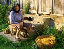 Den gammala bondaktiga kvinnan skördar corncobs Fotografering för Bildbyråer