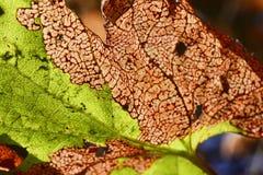 Den gammala leafen texturerar Royaltyfria Bilder