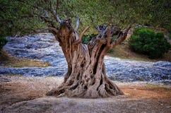 Den gammala stammen för den olive treen, rotar och branches fotografering för bildbyråer