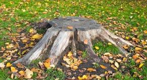 Den gammala stubben av treen. Fotografering för Bildbyråer
