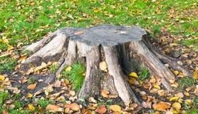 Den gammala stubben av treen. Royaltyfria Foton