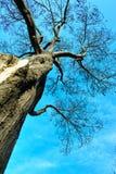 Den gammala treen Arkivfoto