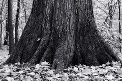 Den gammala treen Arkivbilder