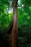Den gammala treen Arkivfoton