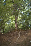Den gammala treen med rotar i sikt Royaltyfri Fotografi
