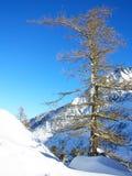Den gammala treen på ett berg slopes tänt vid Sunen Royaltyfria Bilder