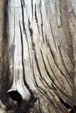 Den gammala treen texturerar Fotografering för Bildbyråer