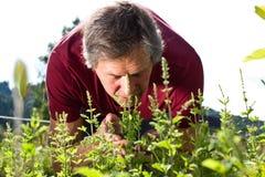 Den gammalare mannen i hans trädgård luktar på pepparmint arkivbilder