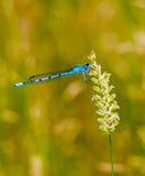 Den gemensamma blåa damselflyen på vilar Fotografering för Bildbyråer