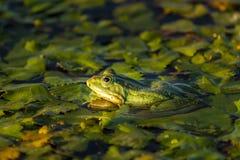 Den gemensamma grön groda sjögrodan eller vattengroda i vattnet in royaltyfria foton