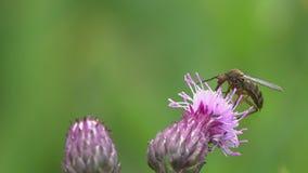 Den gemensamma husmyggan eller den nordliga husmyggan /Culex pipiens/dricker nektar på en purpurfärgad blomma stock video