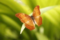 Den gemensamma kryssarefjärilen Royaltyfria Bilder