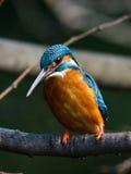 Den gemensamma kungsfiskaren (Alcedoatthis) fotografering för bildbyråer