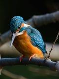 Den gemensamma kungsfiskaren (Alcedoatthis) Royaltyfri Fotografi