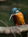 Den gemensamma kungsfiskaren (Alcedoatthis) arkivfoton