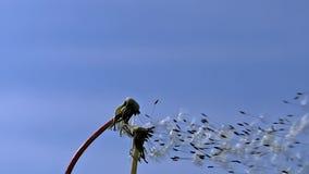 Den gemensamma maskrosen, taraxacumofficinale, frö från ` tar tid på ` som blåsas och skingras av vind mot blå himmel