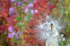 Den gemensamma milkweeden kärnar ur fröskidan - follikel royaltyfri foto