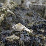 Den gemensamma phocaen Vitulina som för hamnskyddsremsor kopplar av på, vaggar i Anglesey Royaltyfria Bilder