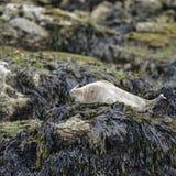 Den gemensamma phocaen Vitulina som för hamnskyddsremsor kopplar av på, vaggar i Anglesey Fotografering för Bildbyråer