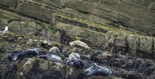 Den gemensamma phocaen Vitulina som för hamnskyddsremsor kopplar av på, vaggar i Anglesey Arkivbild