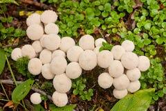 Den gemensamma puffballen plocka svamp Lycoperdonperlatum Arkivbild