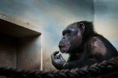 Den gemensamma schimpansen, pannagrottmänniskastående av det stora iconic däggdjuret höll i ZOO Rörande stående av den ledsna apa royaltyfria foton